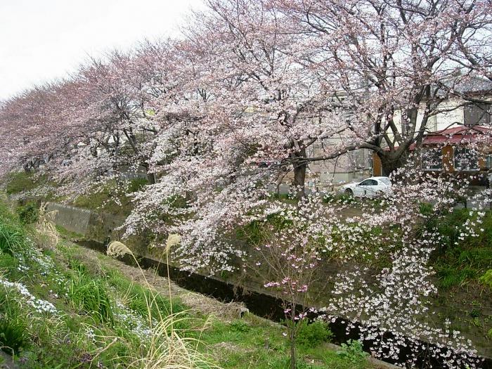 Sakura trees in full bloom.