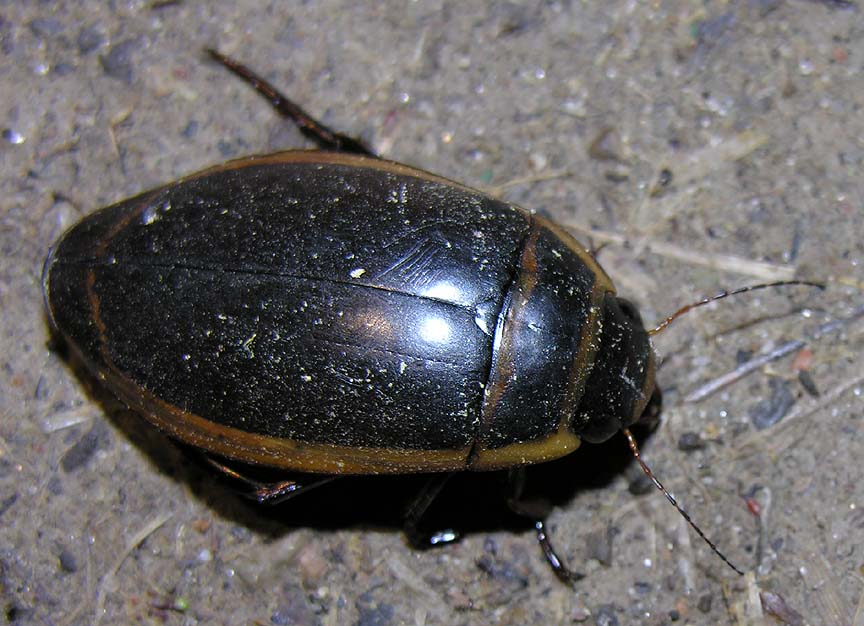 Predaceous diving beetle family dytiscidae living the predaceous diving beetle family dytiscidae living the scientific life scientist interrupted sciox Images