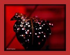 Perles de rosée .