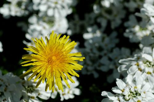 Yard flowers 7