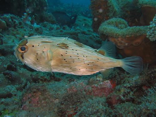 Freckled Porcupine Fish