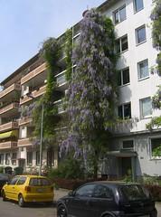 Blütenpracht in der Sophienstraße 244 I