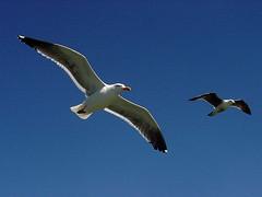 Gulls / Möwen
