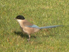 Azure-winged Magpie, near Quinta do Lago (Portugal), 15-Apr-06