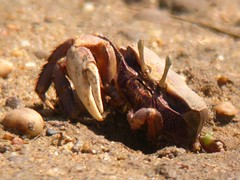 crab, Quinta do Lago (Portugal), 15-Apr-06
