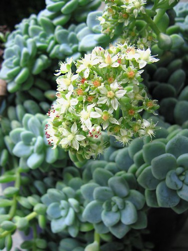 aeonium.in.bloom