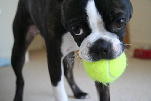 bailey likes her tennis ball