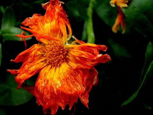 Oorange Flower