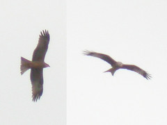 Black & Red Kite, E of Mourão, 21-Apr-06