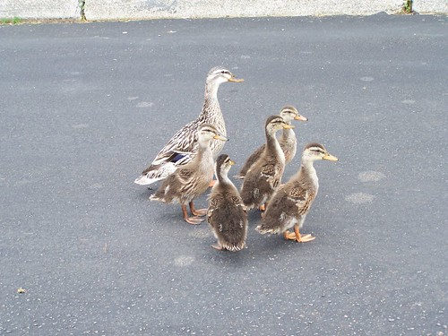 MORE DUCK FAMILY