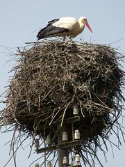 White Stork, Mértola - Castro Verde (Portugal), 25-Apr-06