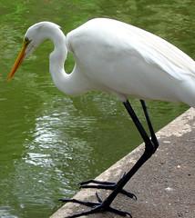 * whooping crane #3 *