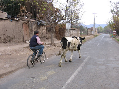 Cow and biker
