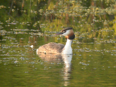 Great Crested Grebe, Ludo (Portugal), 29-Apr-06