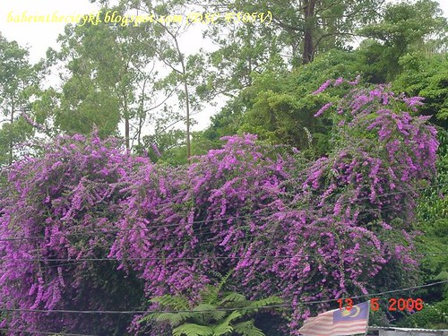rose valley - lush bougainvilla