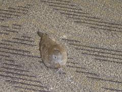 Zebra Dove - Honululu Airport