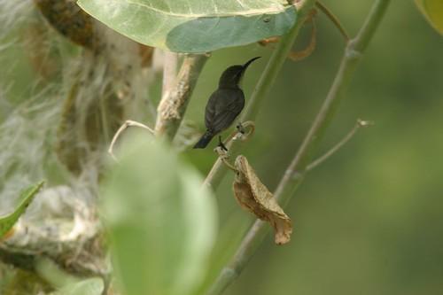 Purple sunbird,Binsar, Uttaranchal, May 2006.K.Mohan.