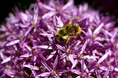 Bee Series:  In a sea of purple