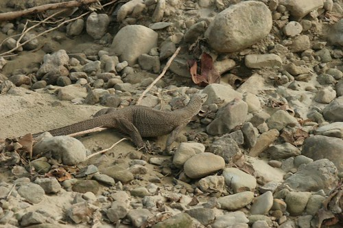 IMG_0389 Monitor Lizard  camouflaged