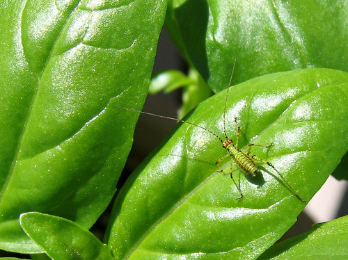 Bugs Eating Holes in Leaves http://forums.gardenweb.com/forums/load/herbs/msg0614101910219.html