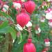 Fuchsia / verenpisara
