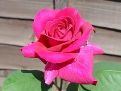 Rose - Macro