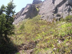 Glacier Lilies spread along a hillside