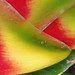 Heliconia rostrata (detail 2 of 3)