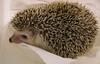 7/5/06: Still more hedgehog shots