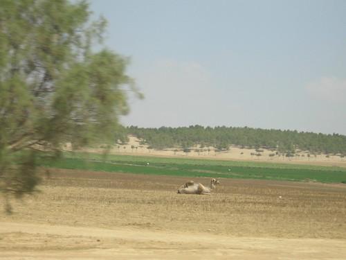 Desert camel (near Be'er Sheva)