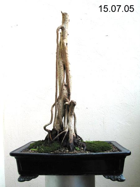 benjamin bonsai bonsai hakk nda temel bilgiler. Black Bedroom Furniture Sets. Home Design Ideas