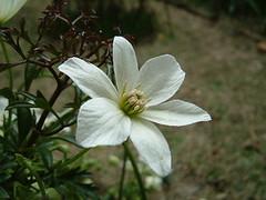クレマチス カートマニー ジョーの花