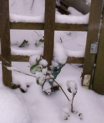 rose and trellis in the snow