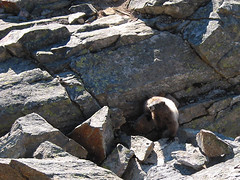 Marmot Bidding Farewell On Northwest Shoulder Of Ruby Mtn