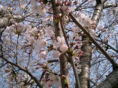 Cherry Blossom #9