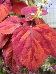 Coleus 'Rustic Orange'