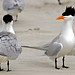 Royal Tern - What