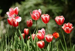 479130_tulips