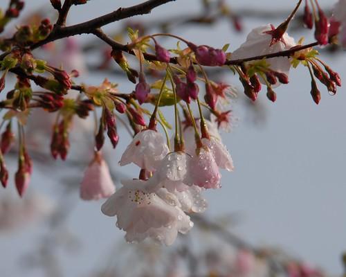 Sakura Prunus Yedoensis