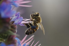 Honeybee on Flower