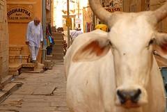 Holy Cow 2, Jaisalmer, Rajasthan, India Captured April 14, 2006.