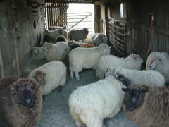 Ready for Shearing
