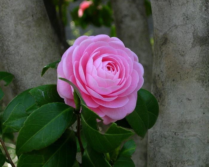 バラ / Rose / Róża