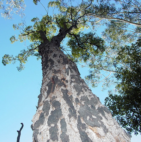 Looking up at the Eucalypt