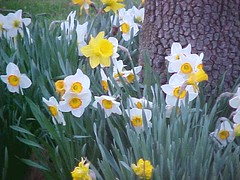 Narcissus and Daffodiles