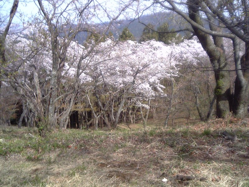 Cherry blossoms on the top of Mt. Takao