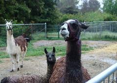 here's a llama