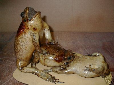 Humping frogs
