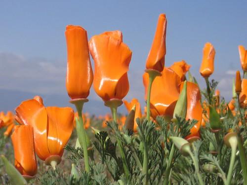 Poppies look plastic.