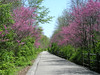 Redbuds along the Cardinal Greenway Rail Trail.